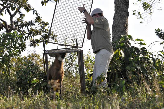 O momento de soltura do lobo-guará fêmea. Fotos: Adriano Gambarini