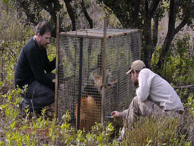 Lobos são sedados para instalação do rádio colar (Foto: Adriano Gambarini/Divulgação)